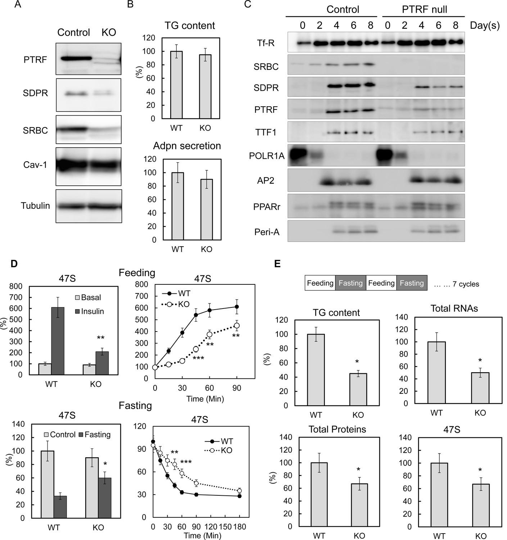 PTRF Cavin 1 promotes efficient ribosomal RNA transcription in