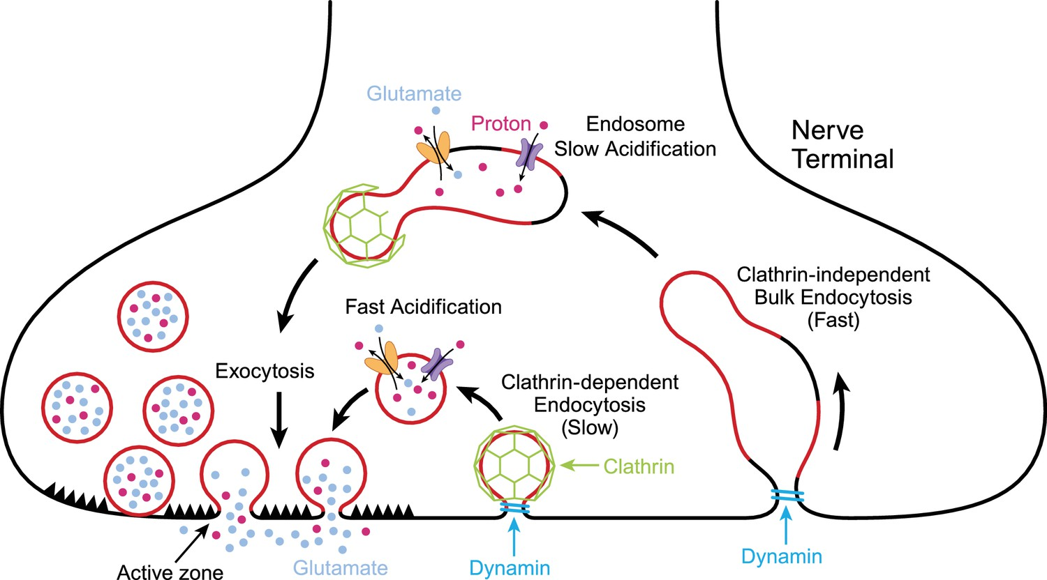 How Much Is A Transmission >> Endocytosis: Recycling at synapses | eLife