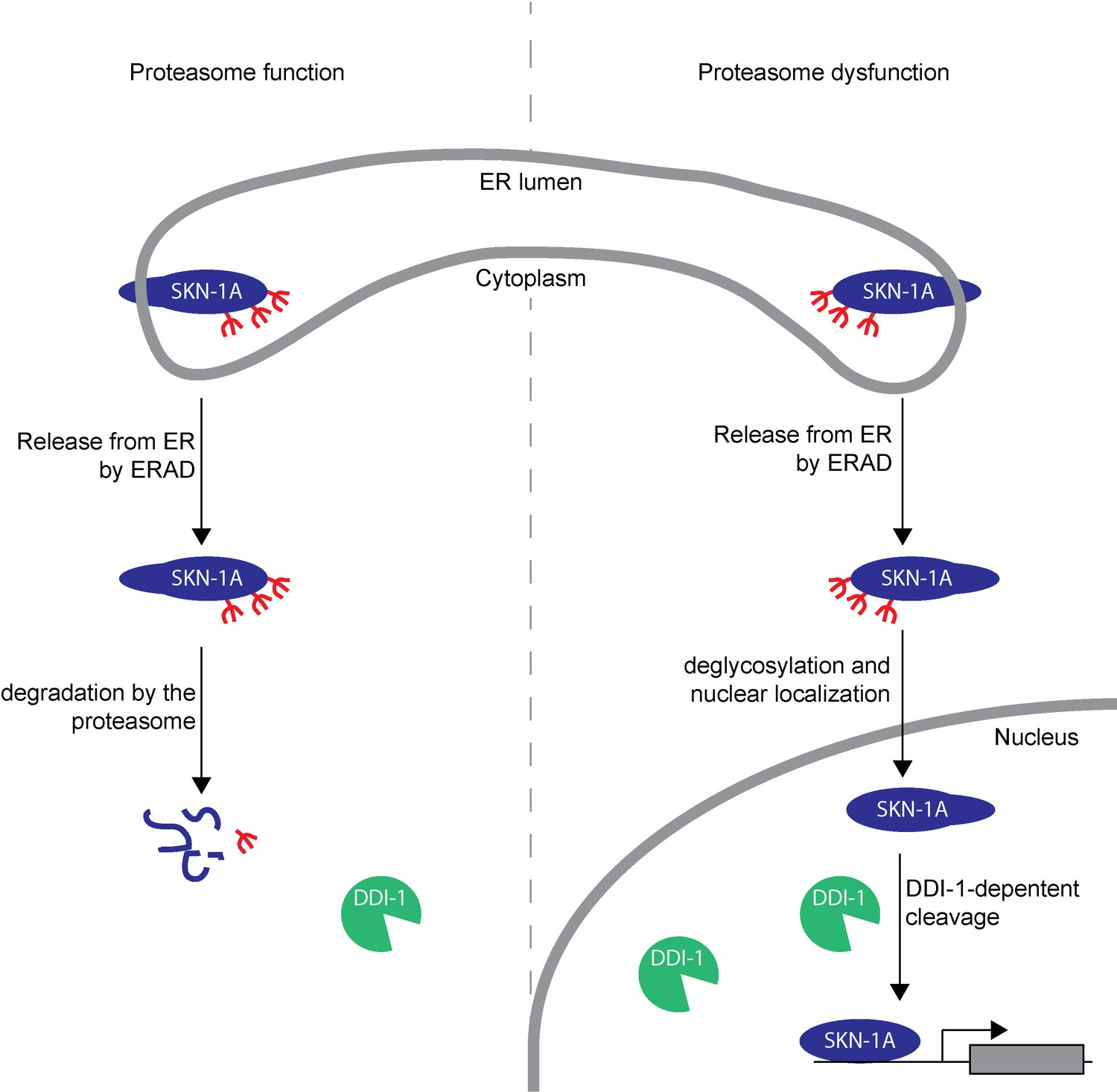 Proteasome dysfunction triggers activation of SKN-1A/Nrf1 by