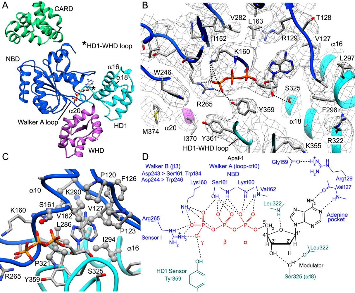 A Near Atomic Structure Of The Active Human Apoptosome Elife Original Hn Crystal 15 G Datp Binding By Apaf 1 In