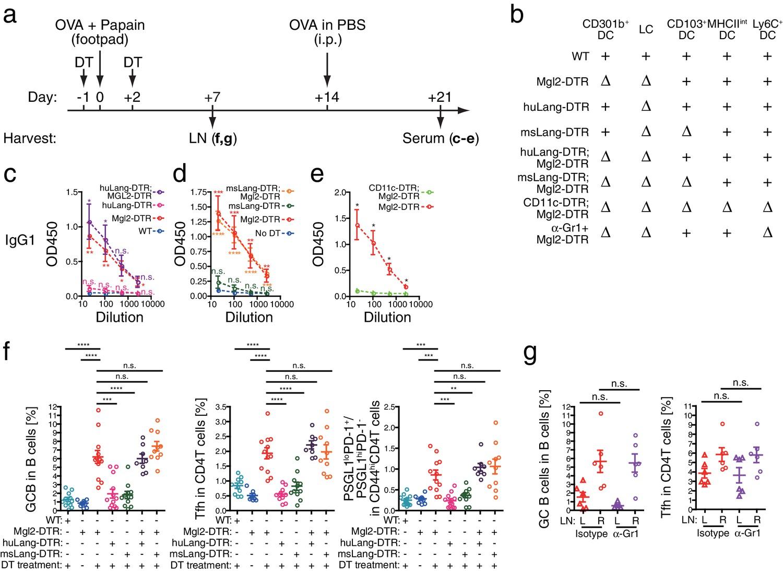 CD301b+ dendritic cells suppress T follicular helper cells