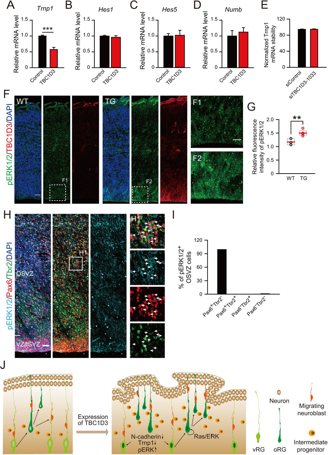 The hominoid-specific gene TBC1D3 promotes generation of