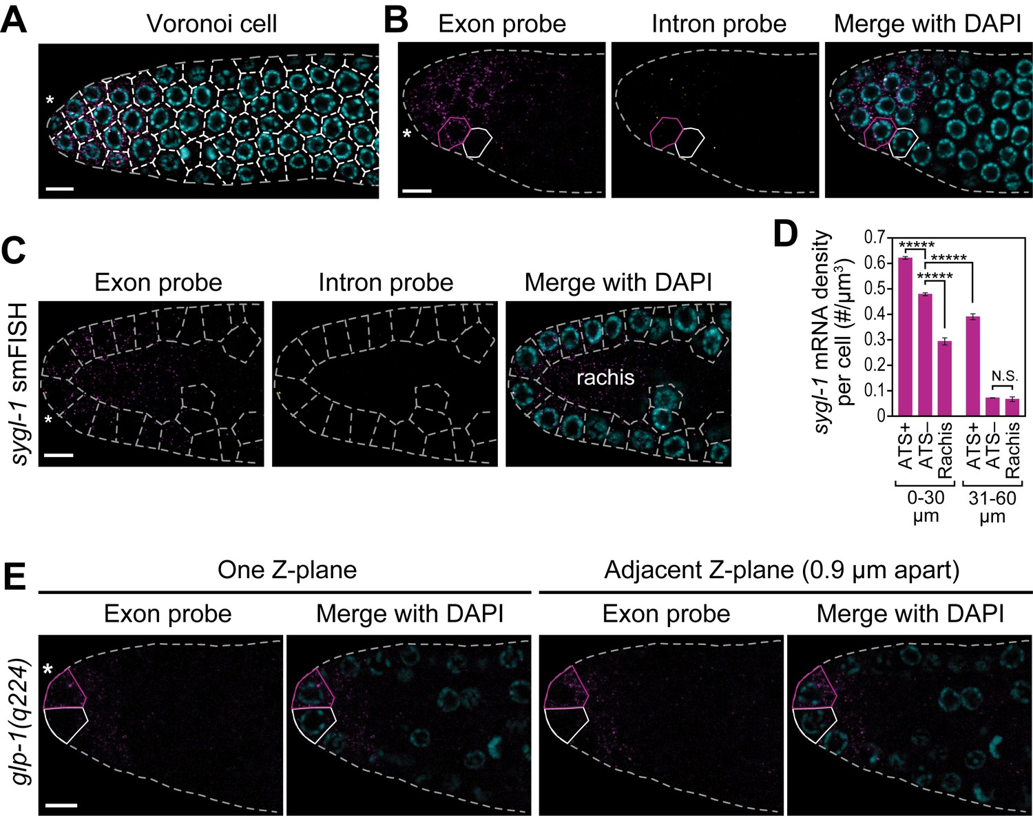 C Elegans Glp 1 Notch Activates Transcription In A Probability 598 X 441 48 Kb Jpeg Heart Rate Monitor Circuit Diagram Source Cells With Abundant Sygl Mrna Can Reside Next To Little