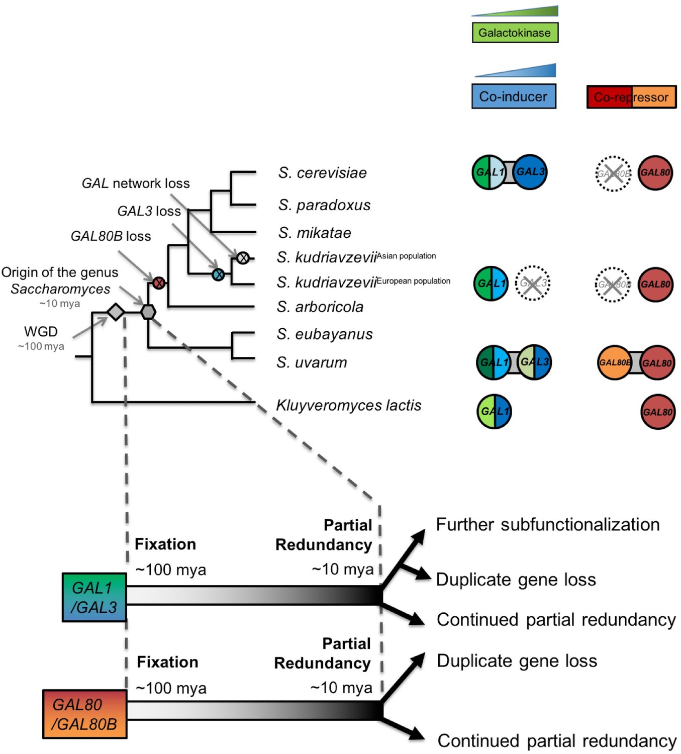 Ongoing Resolution Of Duplicate Gene Functions Shapes The Bell Labs Integrated Circuit Work Examples Ea Diversification Gal1 Gal3 And Gal80 Gal80b Pairs In Saccharomyces