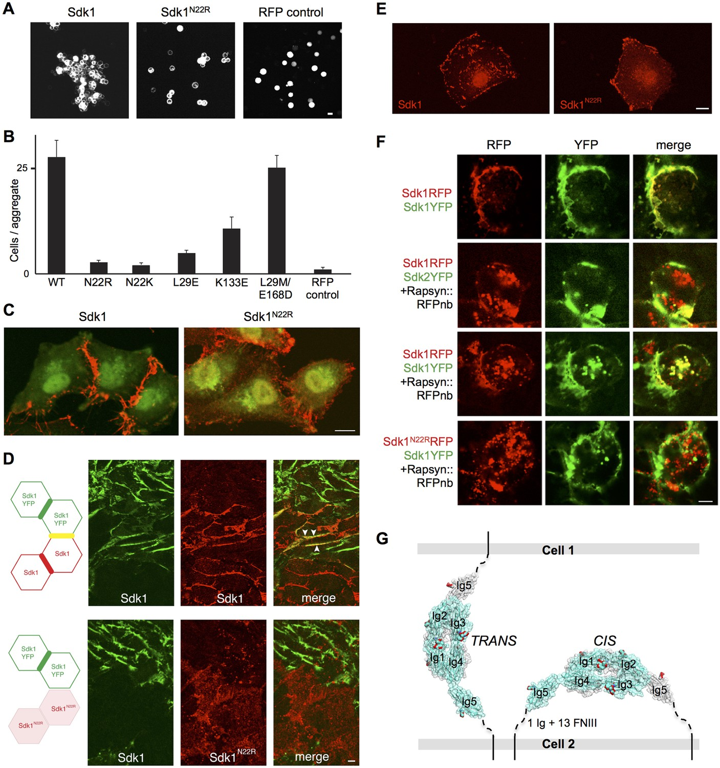 Molecular basis of sidekick-mediated cell-cell adhesion and