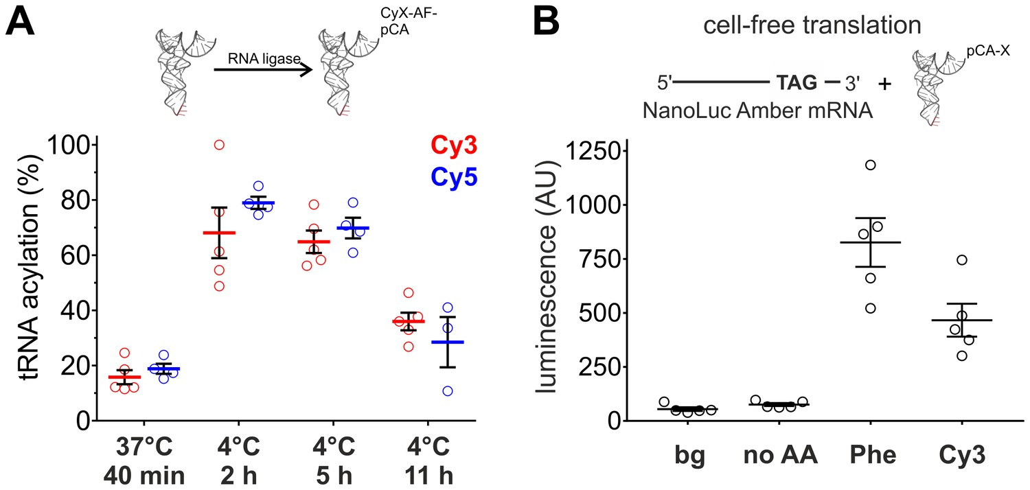 Cellular Encoding Of Cy Dyes For Single Molecule Imaging Elife