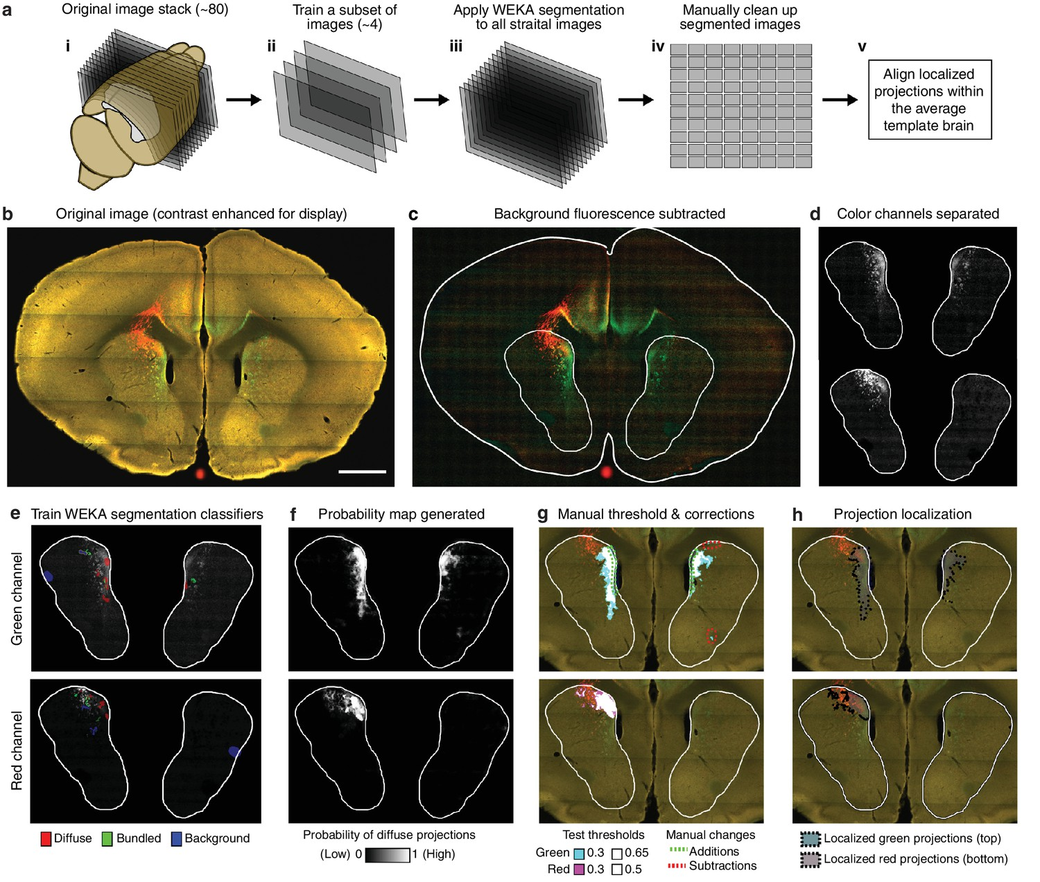 A Comprehensive Excitatory Input Map Of The Striatum Reveals Novel 3d Plant Cell Diagram From Textbook Image Gallery Overview Semi Automated Segmentation Method For Thalamostriatal Projections