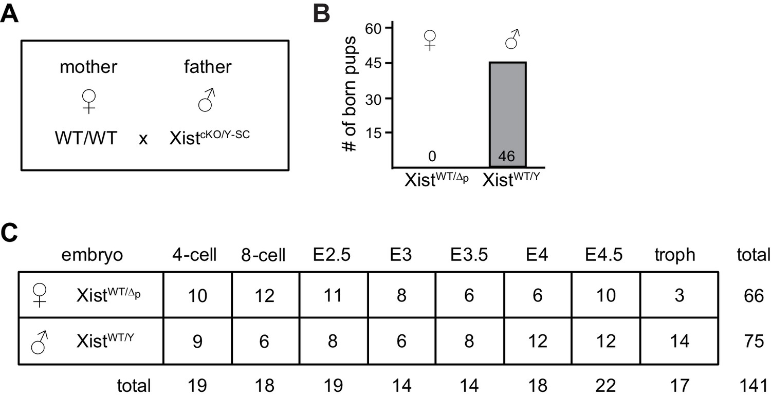 Figures and data in Regulation of X-linked gene expression