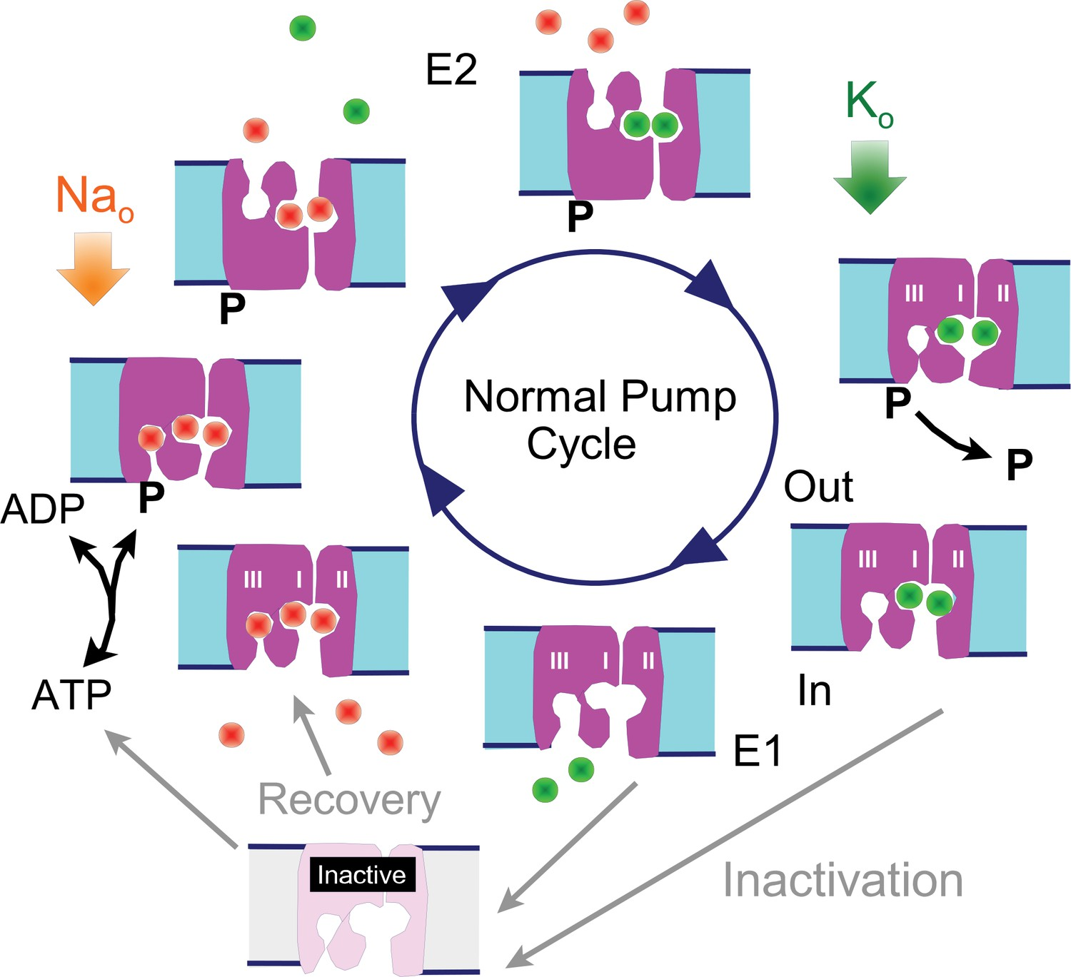 Profound regulation of Na/K pump activity by transient
