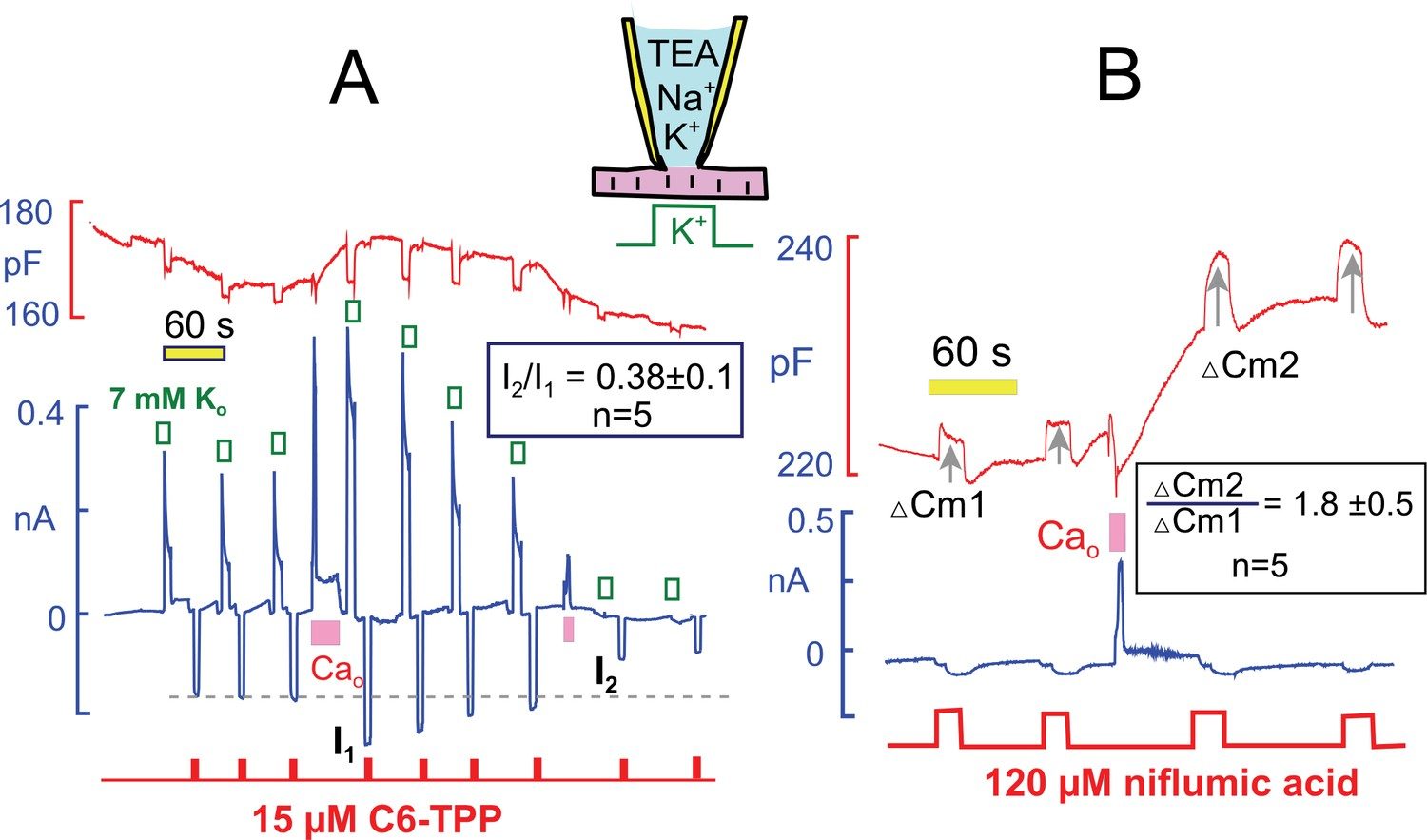 Profound regulation of nak pump activity by transient elevations interactions of hydrophobic cations and anions with the sarcolemma track the stimulation and inhibition of pump currents by ca elevations nvjuhfo Image collections