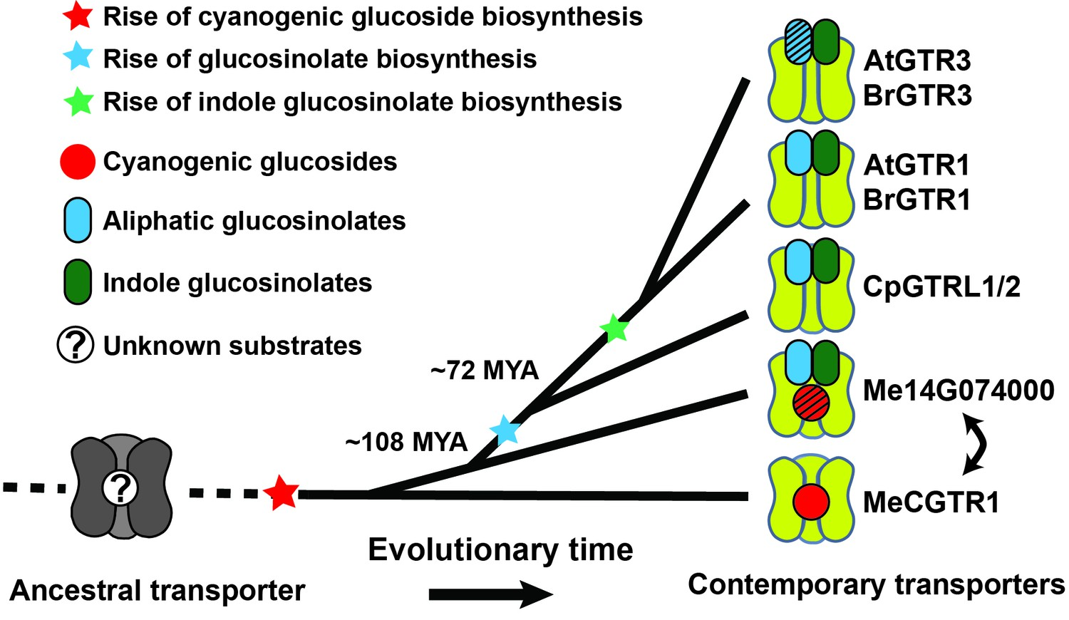 Origin And Evolution Of Transporter Substrate Specificity Within The 1995 Bmw Fuse Box Little E35 Before Model Glucosinolate Npf