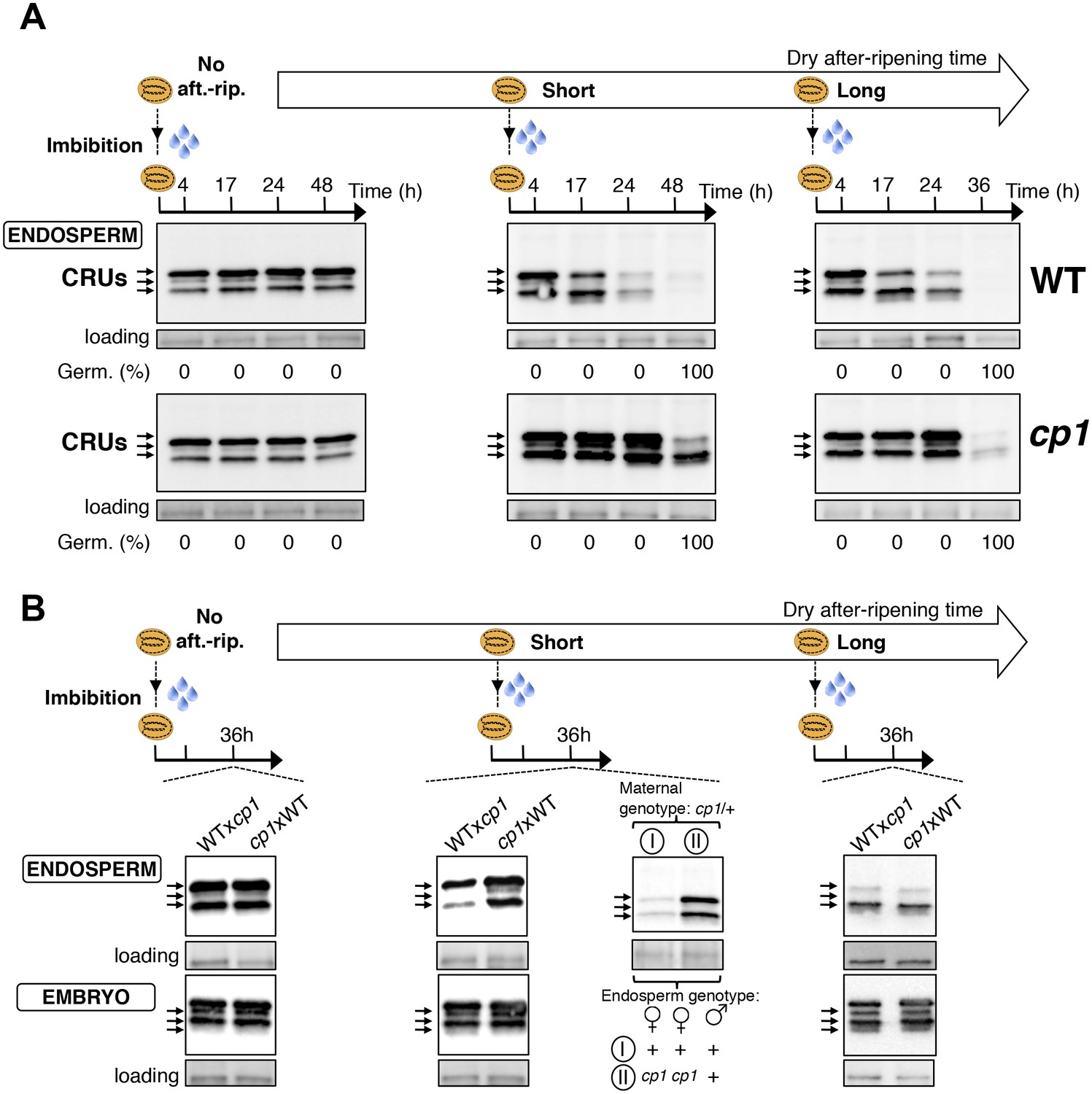 Dormancy Specific Imprinting Underlies Maternal Inheritance Of Seed Germination Diagram Related Keywords Cp1 Promotes The Decay Cru Proteins