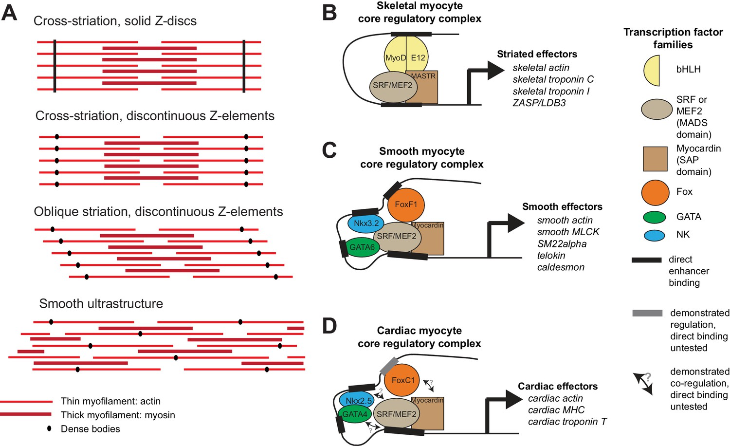 the evolutionary origin of bilaterian smooth and striated myocytes
