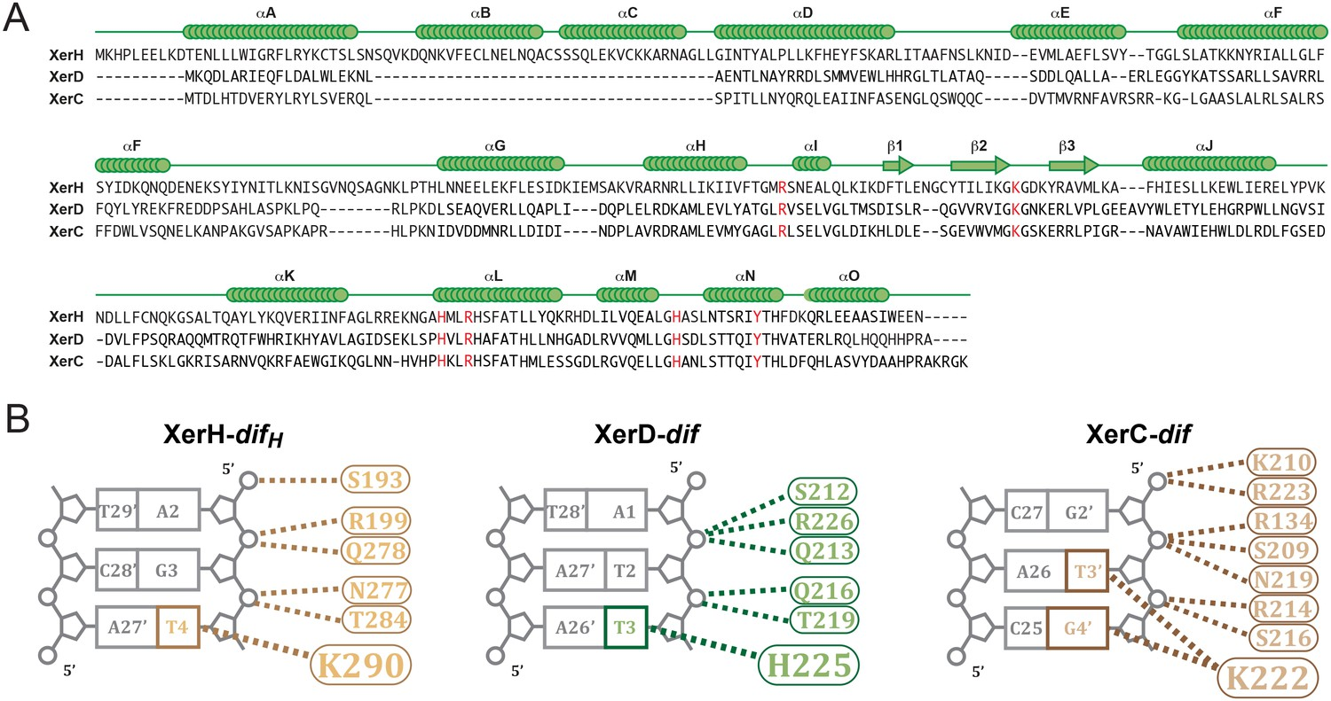 Structural Snapshots Of Xer Recombination Reveal Activation By Keywords Like Schematic Symbol For Heater Panel Other People Modeling Xerc D Dif Synaptic Complexes