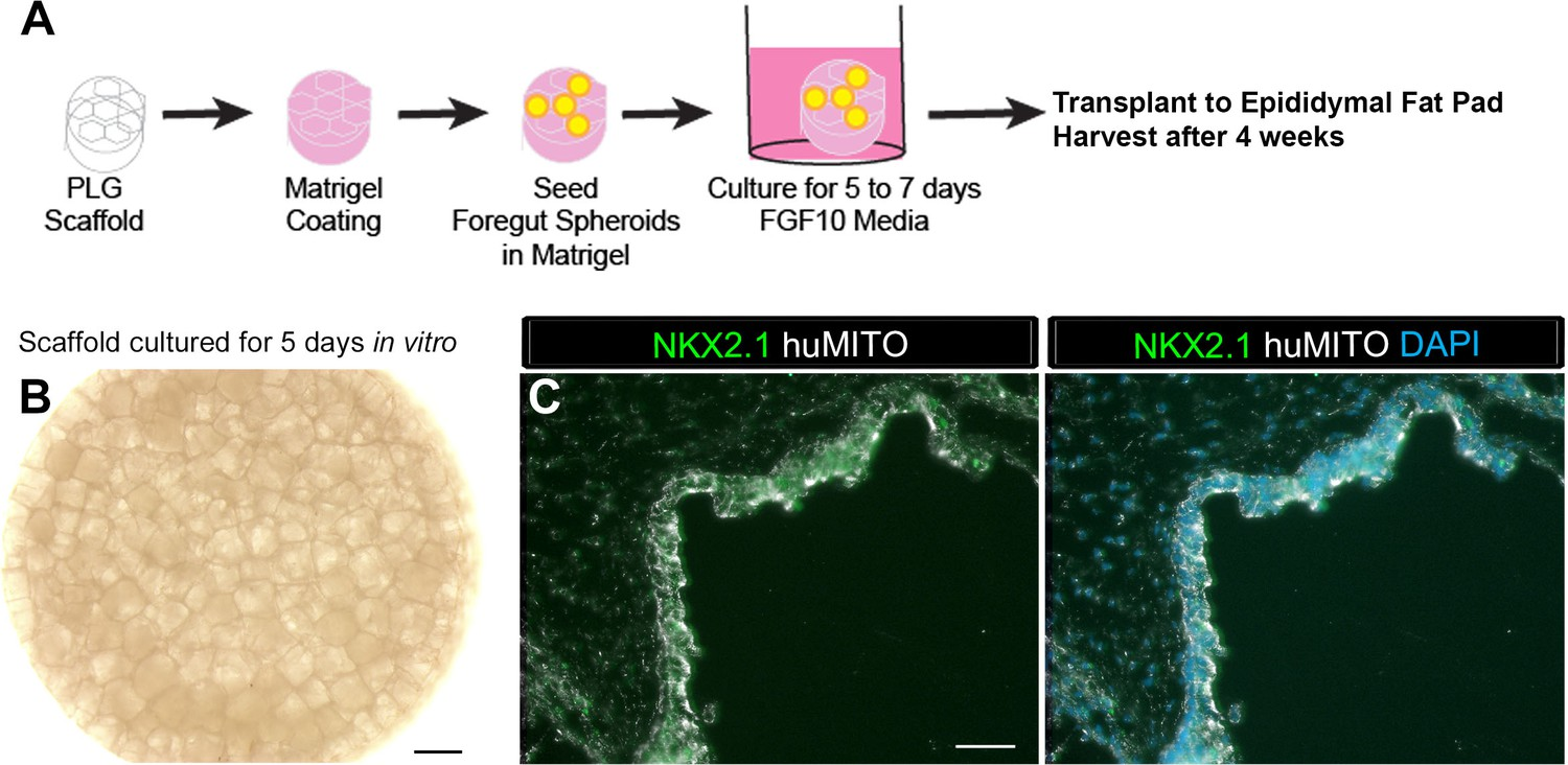 Figures And Data In A Bioengineered Niche Promotes In Vivo
