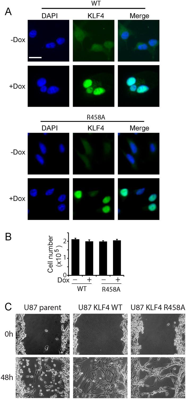 1 Hr Photo >> Figures and data in Methylated cis-regulatory elements mediate KLF4-dependent gene ...