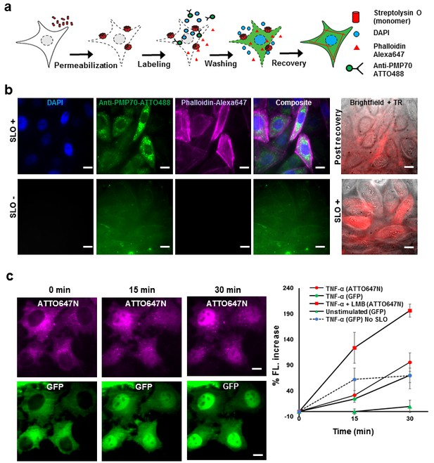 Labeling Proteins Inside Living Cells Using External