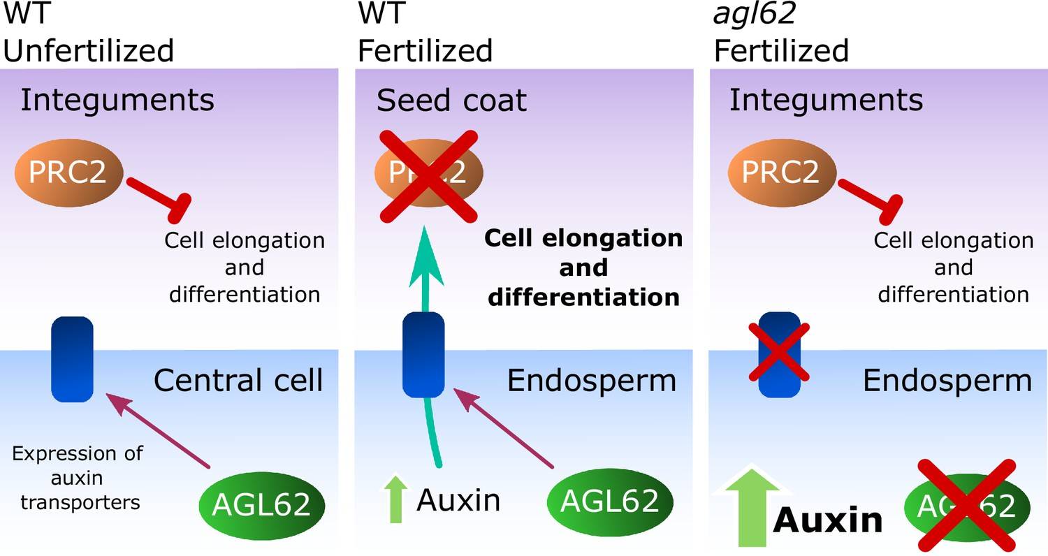 importance of auxin
