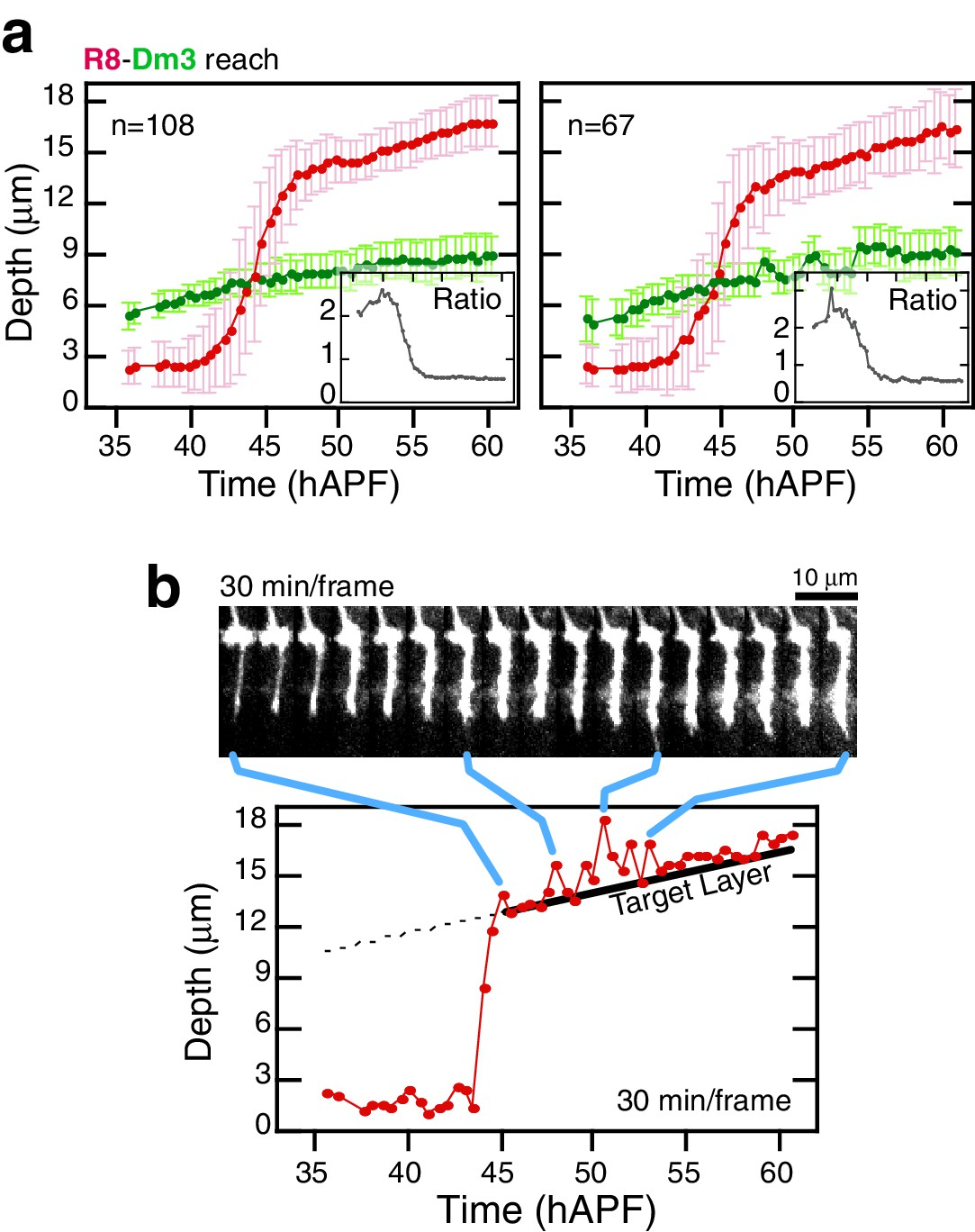 Frazzled promotes growth cone attachment at the source of a Netrin
