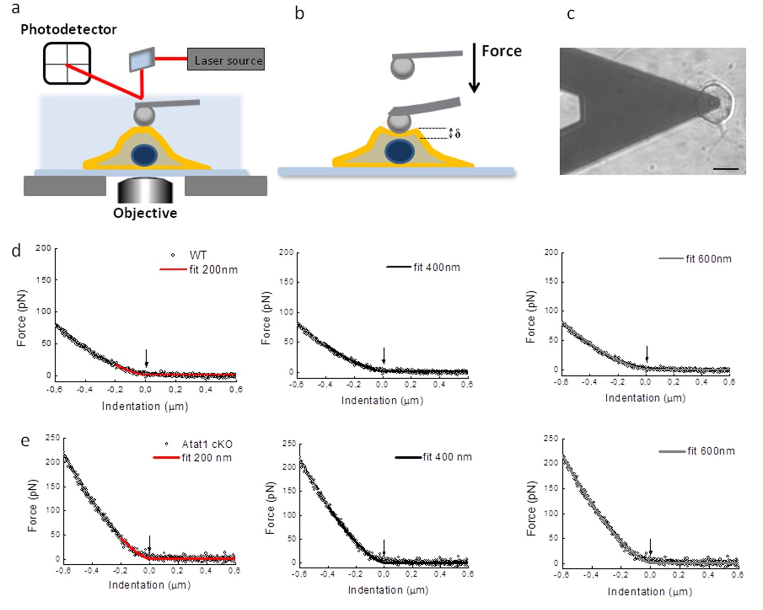 Acetylated Tubulin Is Essential For Touch Sensation In Mice Elife Backflow Preventer Diagram Car Tuning Atomic Force Microscopy Of Drg From Atat1cko