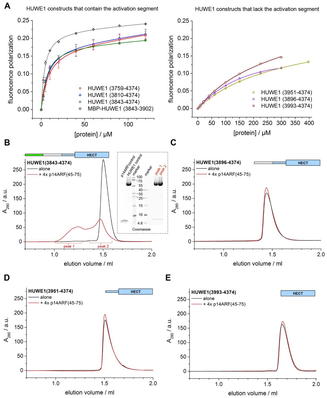 a conformational switch regulates the ubiquitin ligase huwe1 elife