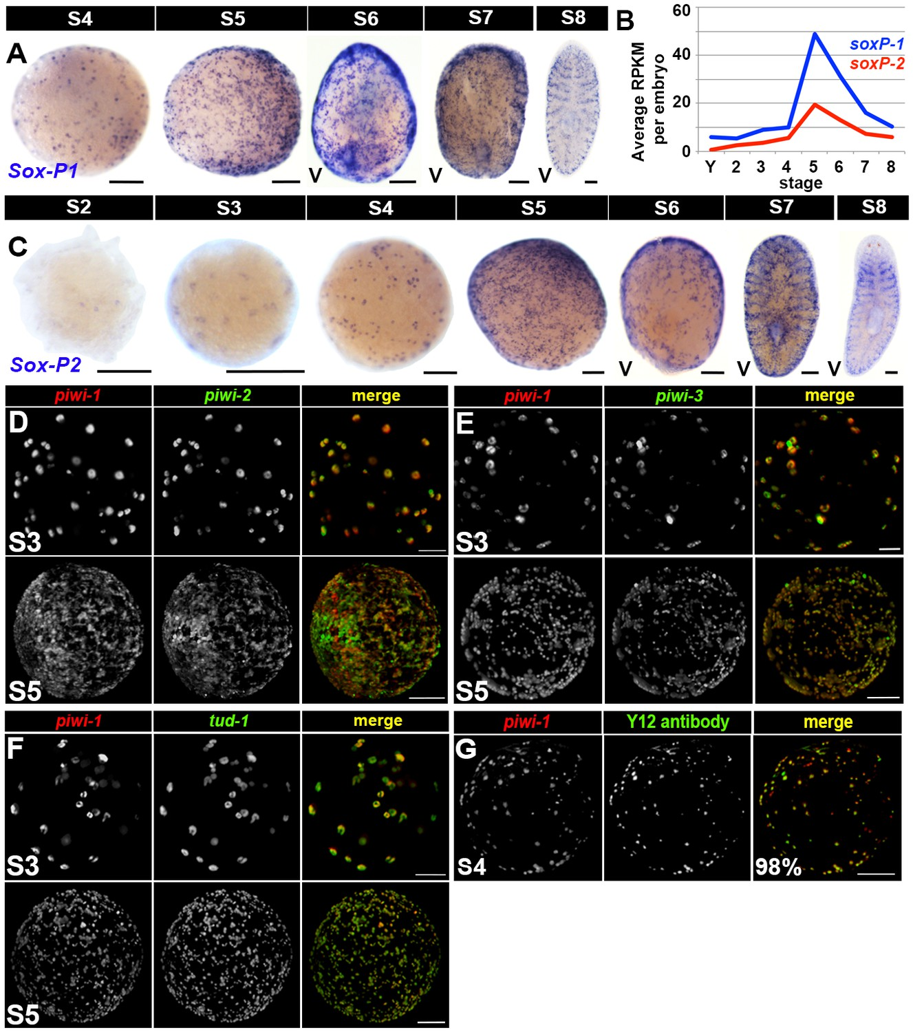 Embryonic Origin Of Adult Stem Cells Required For Tissue Homeostasis Eye Shadow Just Miss 223 Asexual Neoblast Enriched Markers Are Coexpressed In Piwi 1 During Embryogenesis