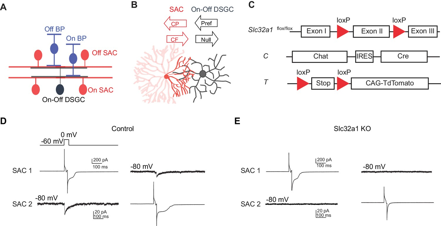 Stimulus Dependent Recruitment Of Lateral Inhibition Underlies Sloan Led Wiring Diagram Genetic Deletion Slc32a1 From Sacs Eliminates Reciprocal Between