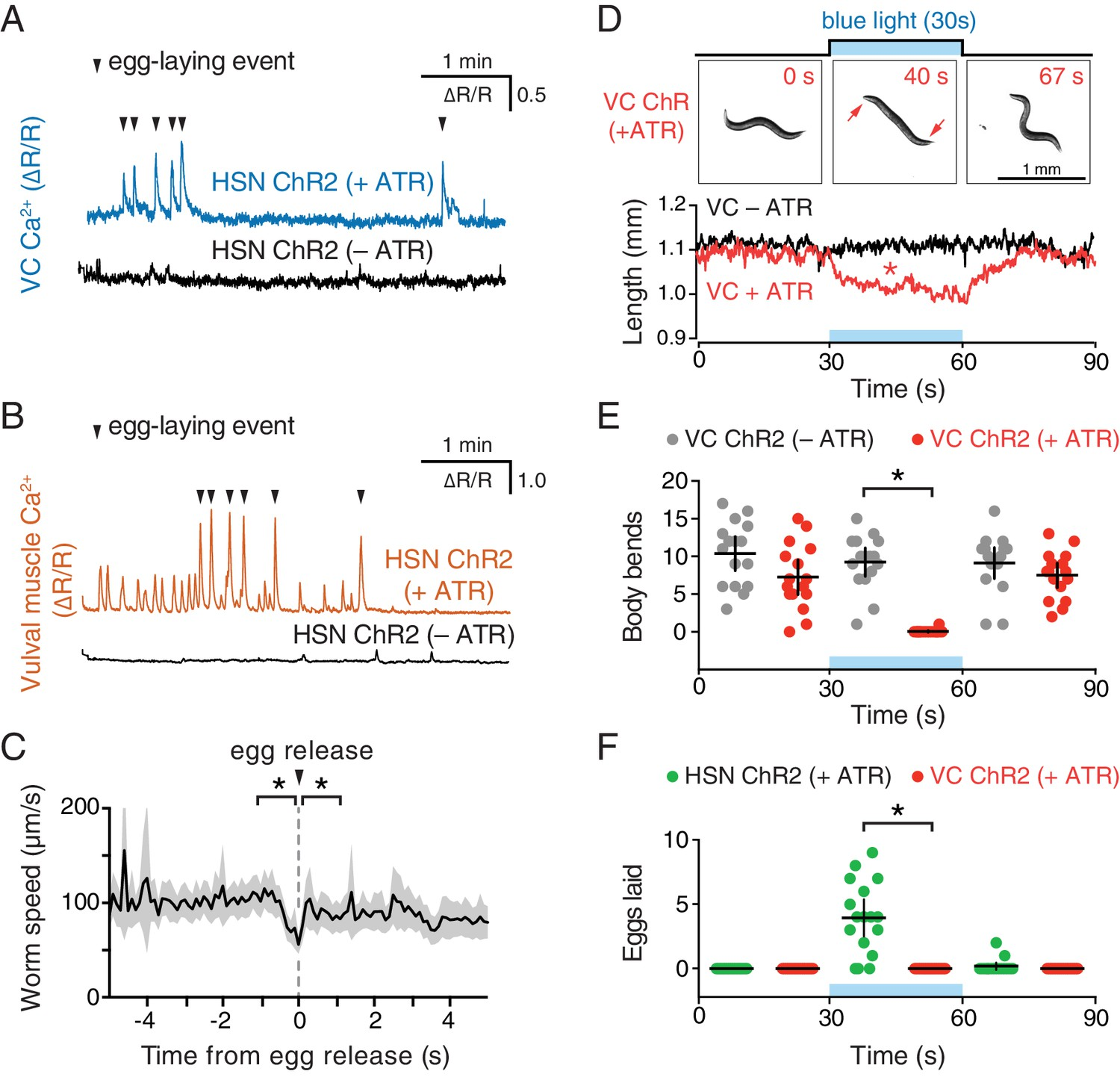 Activity Of The C Elegans Egg Laying Behavior Circuit Is Controlled Time Delay Circuits Optogenetic Activation Hsn Neurons Initiates Active State And Vc Slows Locomotion
