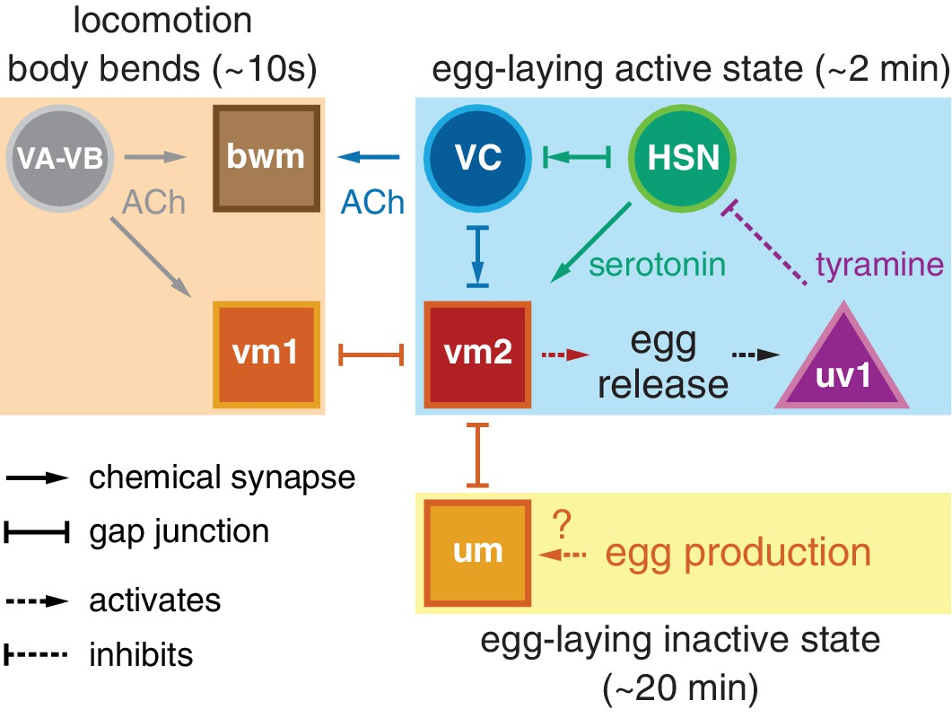 Activity Of The C Elegans Egg Laying Behavior Circuit Is Controlled Time Delay Circuits Working Model How Connectivity Signaling And Contribute To Observed Rhythms That Accompany Active Inactive