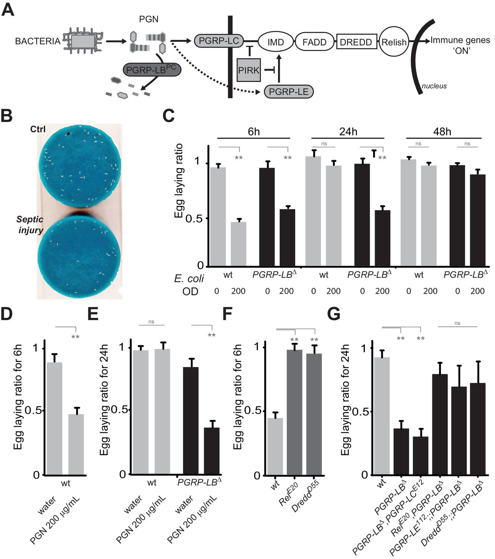 Peptidoglycan sensing by octopaminergic neurons modulates Drosophila