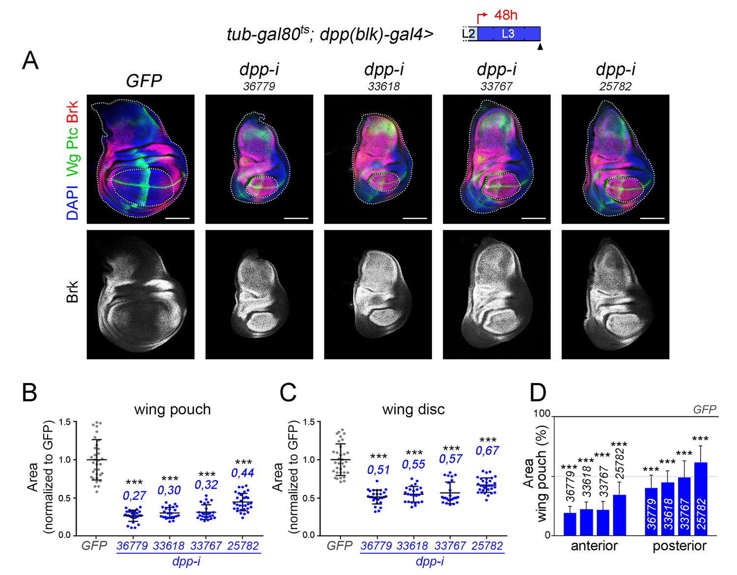 Boundary Dpp promotes growth of medial and lateral regions of the
