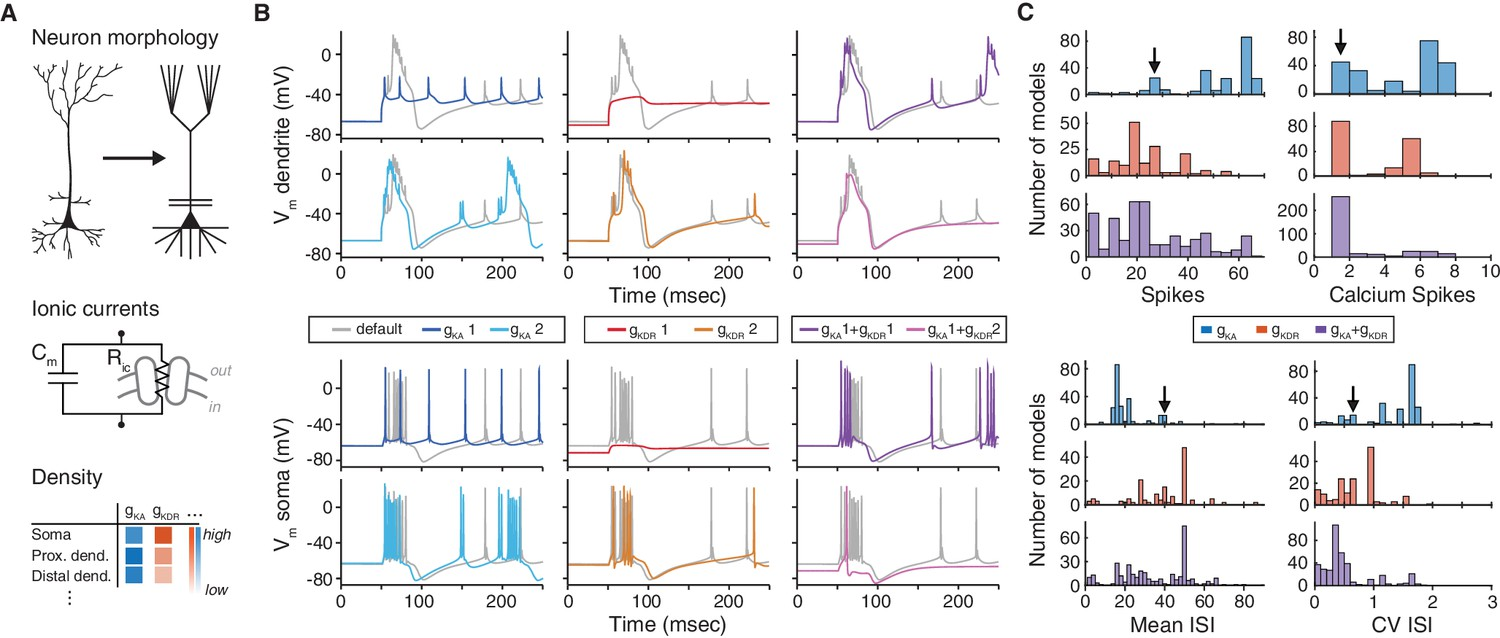 The Choice Of Ion Channel Model Influences Behavior A Simulated Neuron