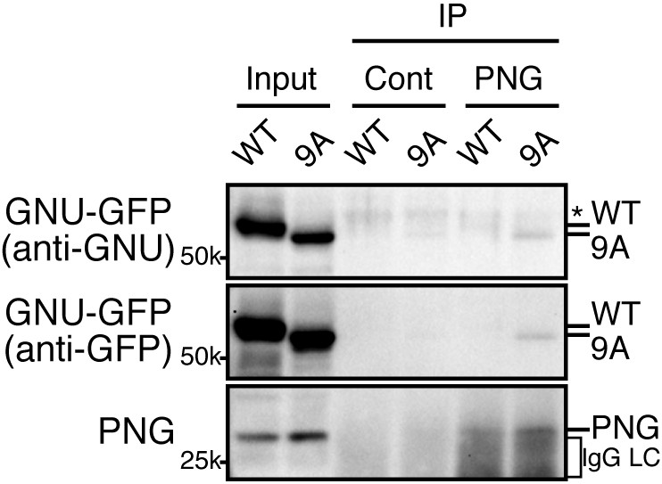 Control of PNG kinase, a key regulator of mRNA translation, is ...