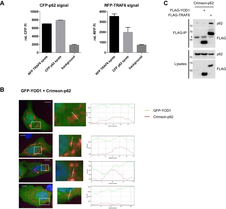 YOD1/TRAF6 association balances p62-dependent IL-1 signaling to NF ...