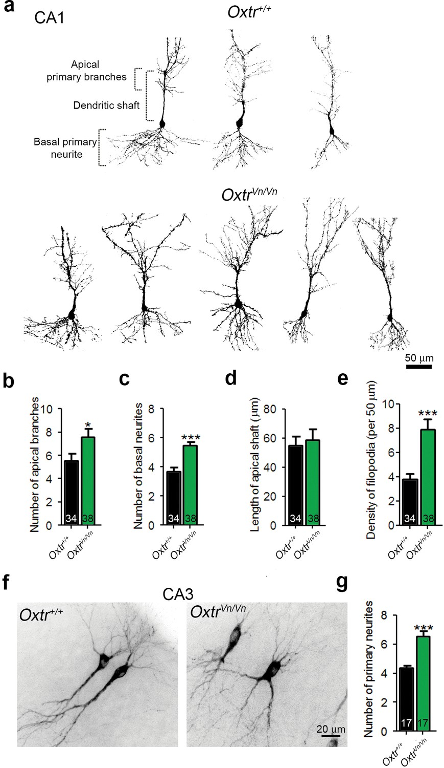 Transient Oxytocin Signaling Primes The Development And Function Of Snap Circuits Extreme Educational 750 Exp Deletion Oxtrs In Hippocampus Causes Dendrite Overgrowth Ca1 Ca3 Pyramidal Neurons