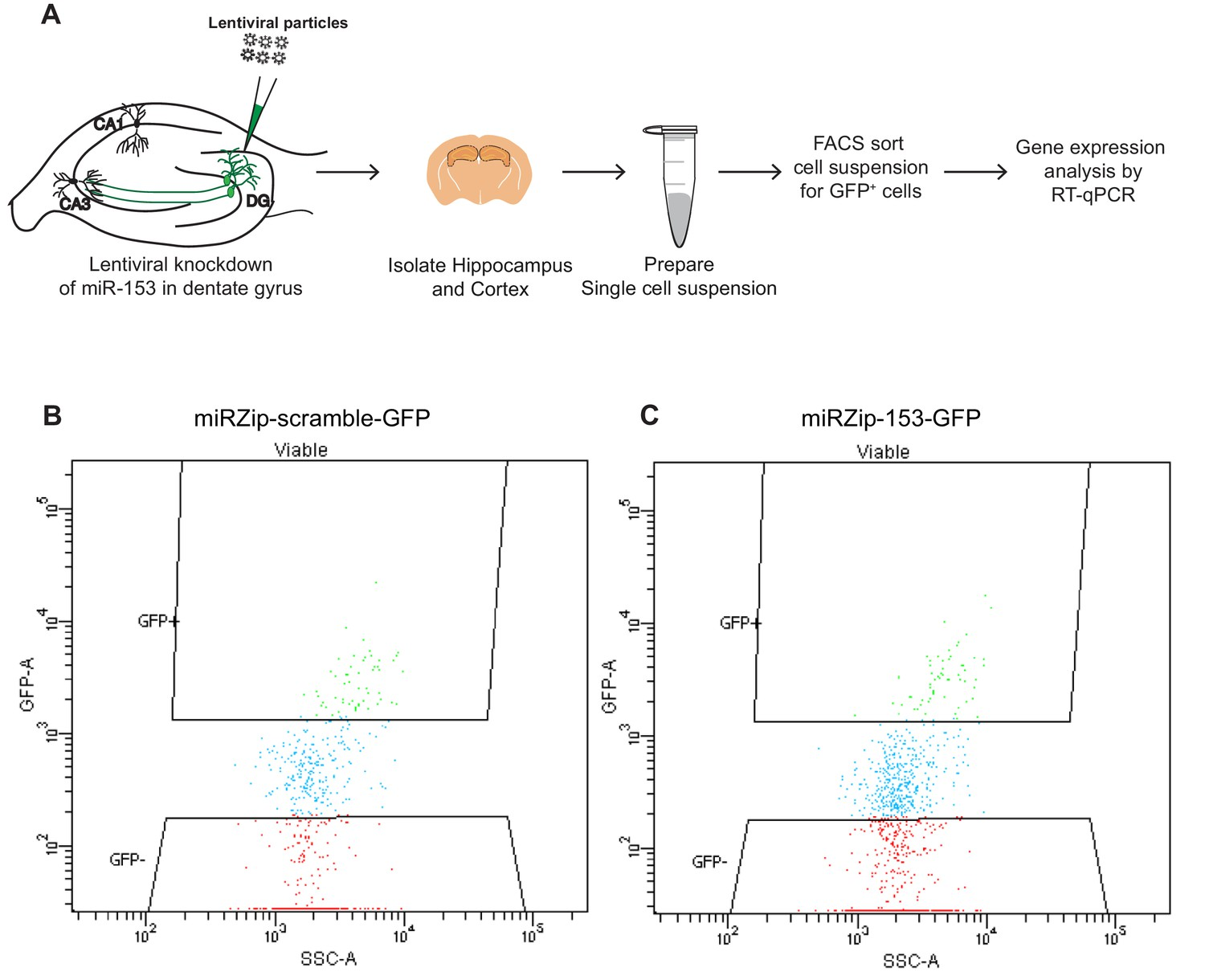 Figures and data in A microRNA negative feedback loop