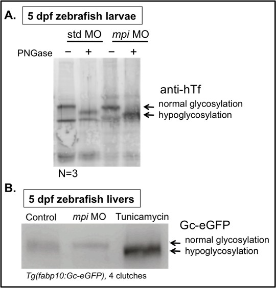 MPI depletion enhances O-GlcNAcylation of p53 and suppresses