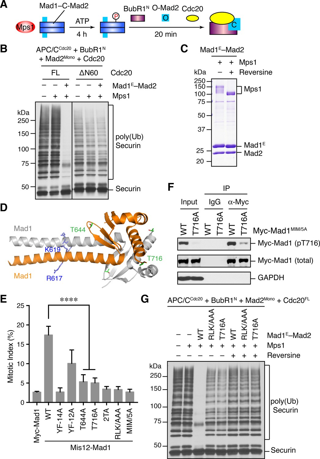 A sequential multi-target Mps1 phosphorylation cascade promotes