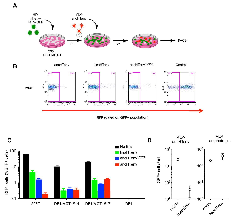 Co-option of an endogenous retrovirus envelope for host