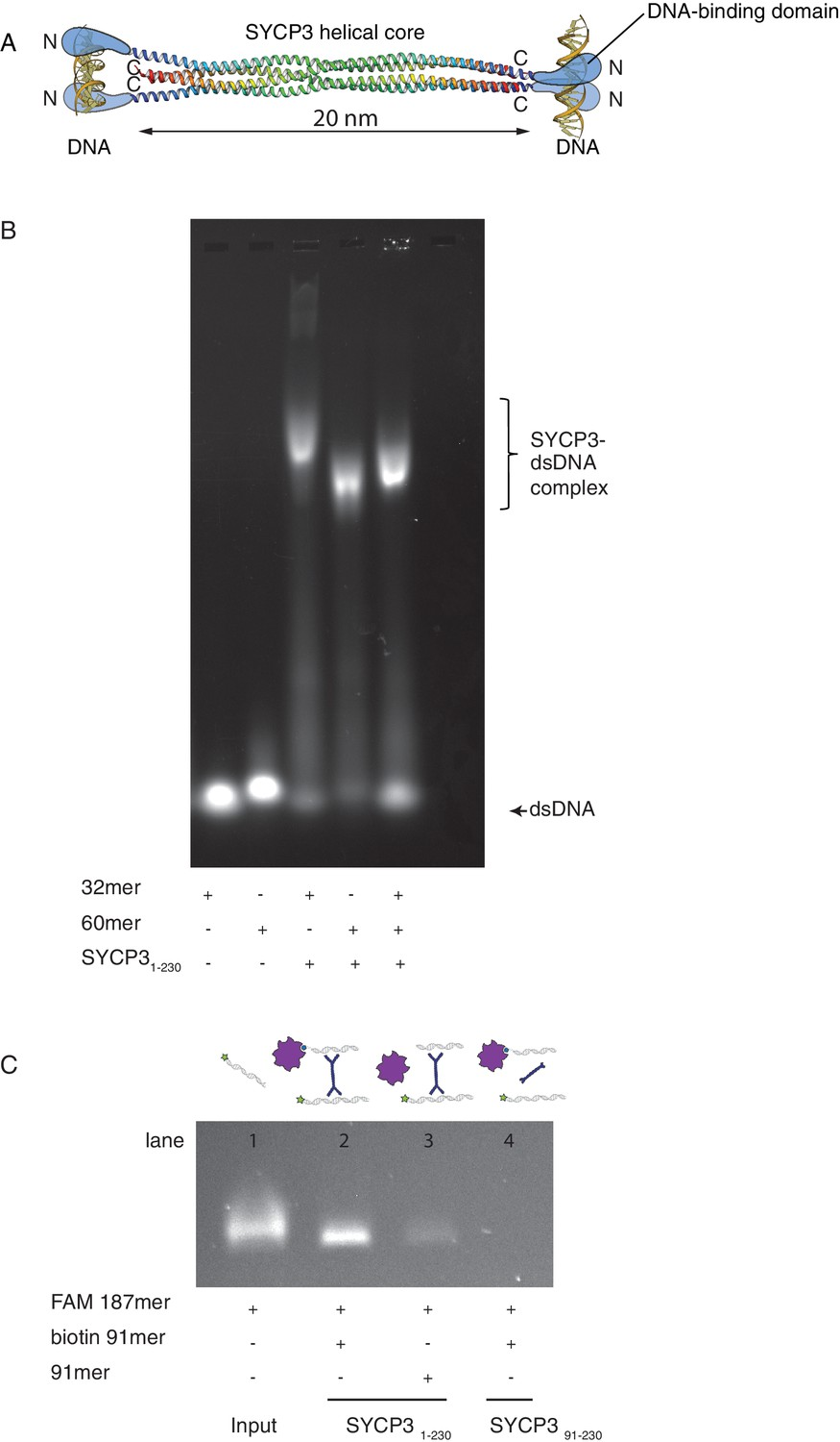 Single-molecule observation of DNA compaction by meiotic