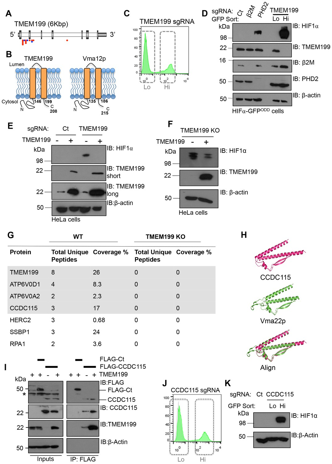 The vacuolar-ATPase complex and assembly factors, TMEM199