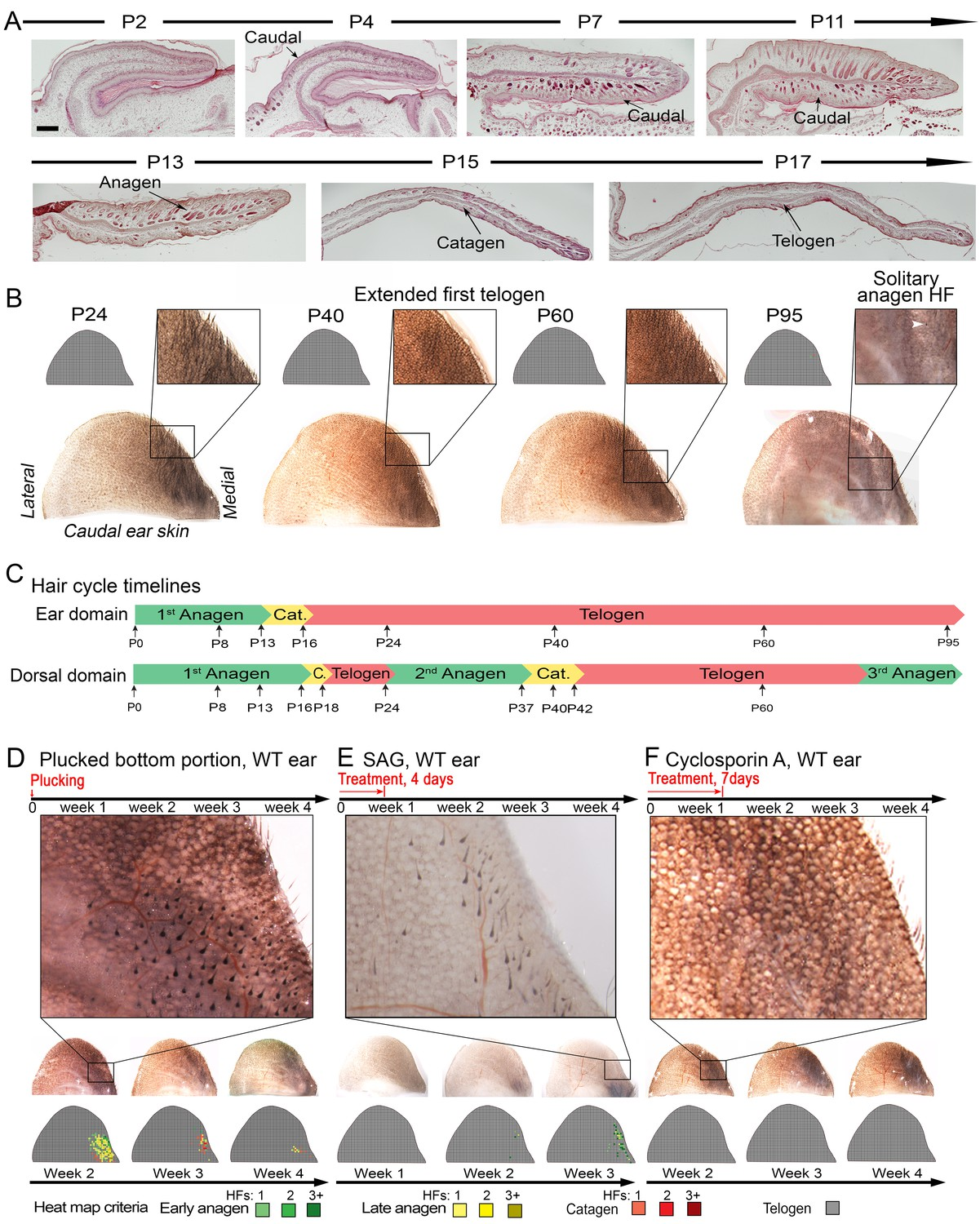 A multi-scale model for hair follicles reveals heterogeneous domains