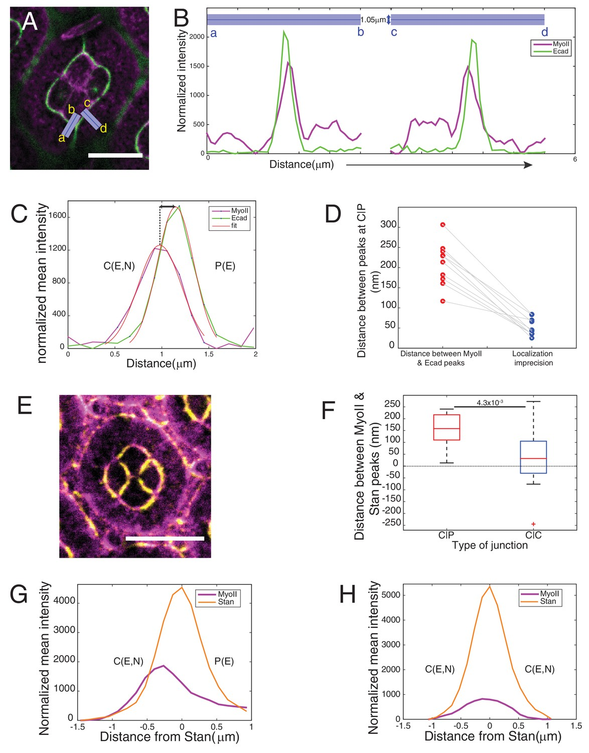 Patterned Cortical Tension Mediated By N Cadherin Controls Cell Standard B Moreover Cat 5 Connectors Diagram Along With 5e Vs Asymmetry Of Myoii Localization At Different Contacts