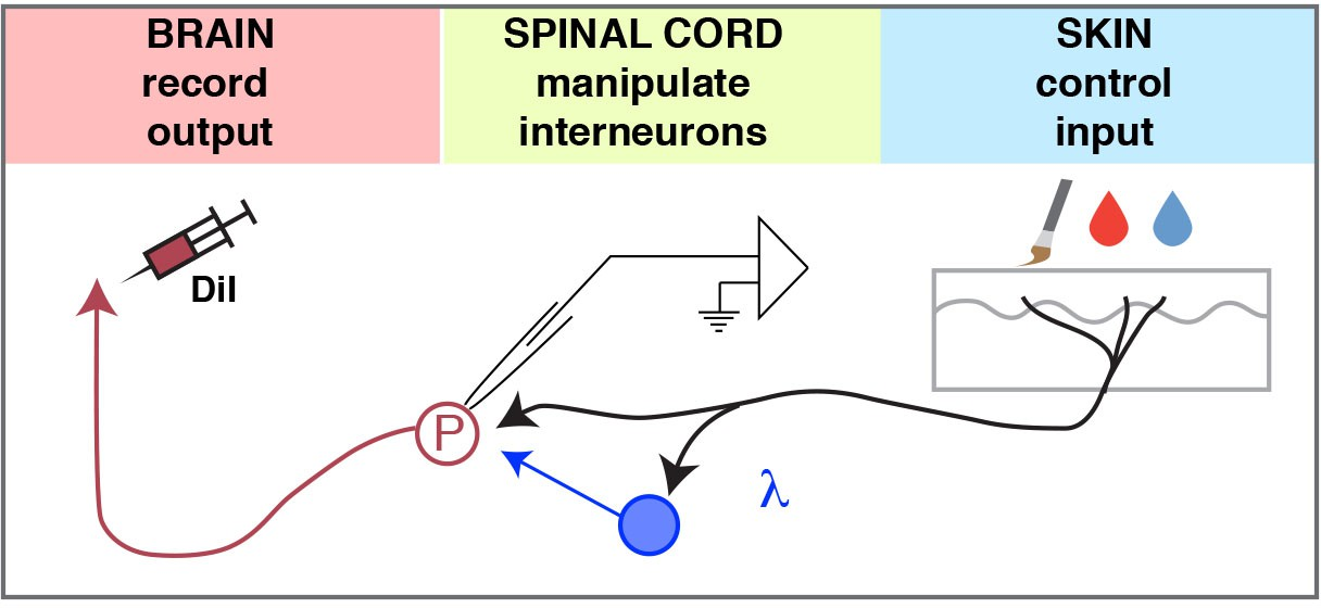 Semi Intact Ex Vivo Approach To Investigate Spinal Somatosensory