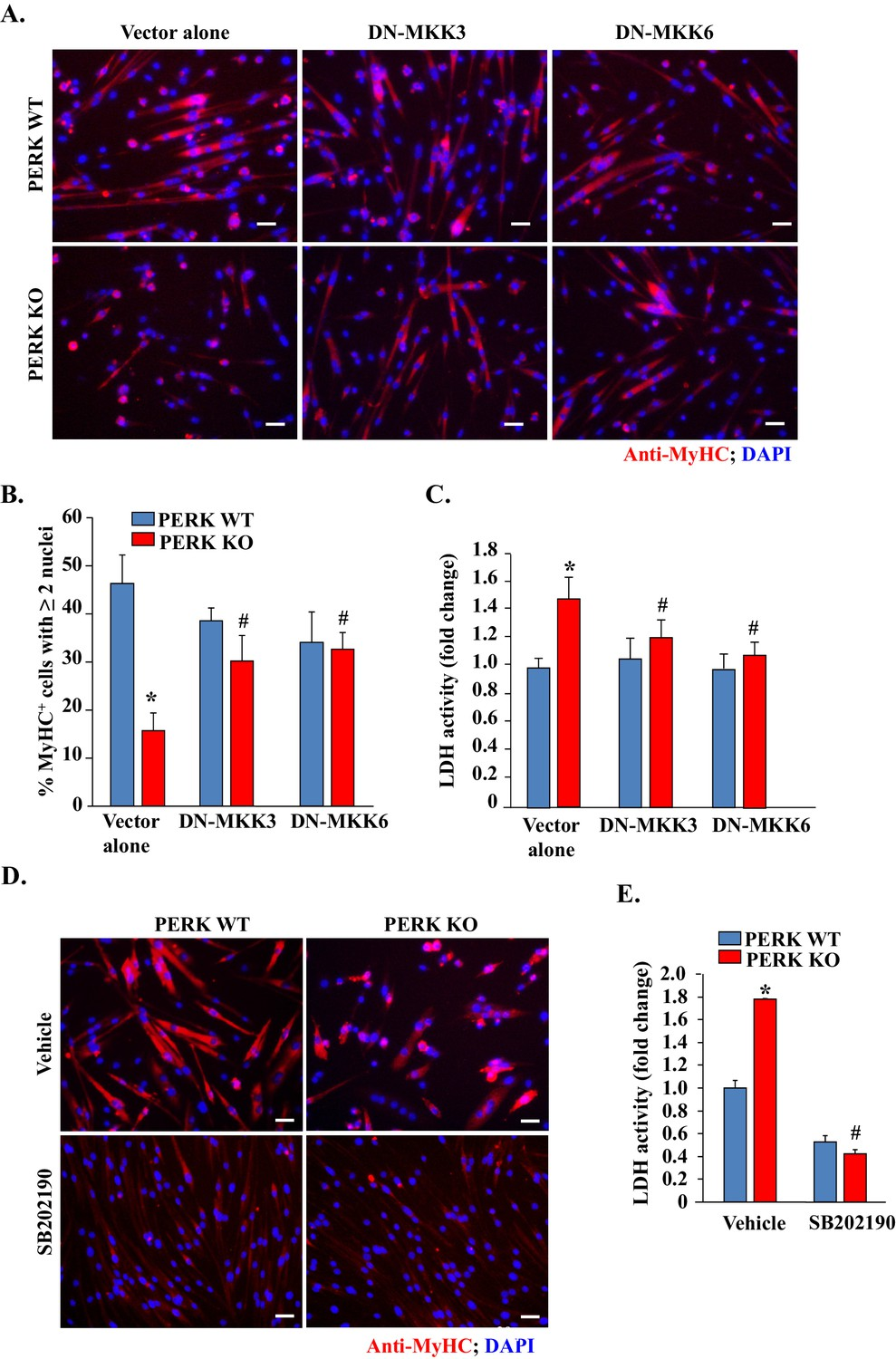 The Perk Arm Of Unfolded Protein Response Regulates Satellite Mdx Fuse Box Diagram Inhibition P38 Mapk Improves Myogenic Cell Survival And Myotube Formation In Deficient Cultures