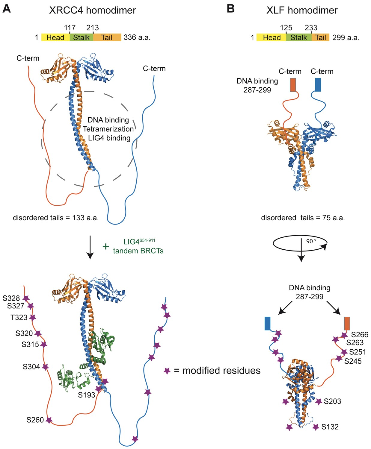 Structural Organization Of XRCC4 And XLF Homodimers