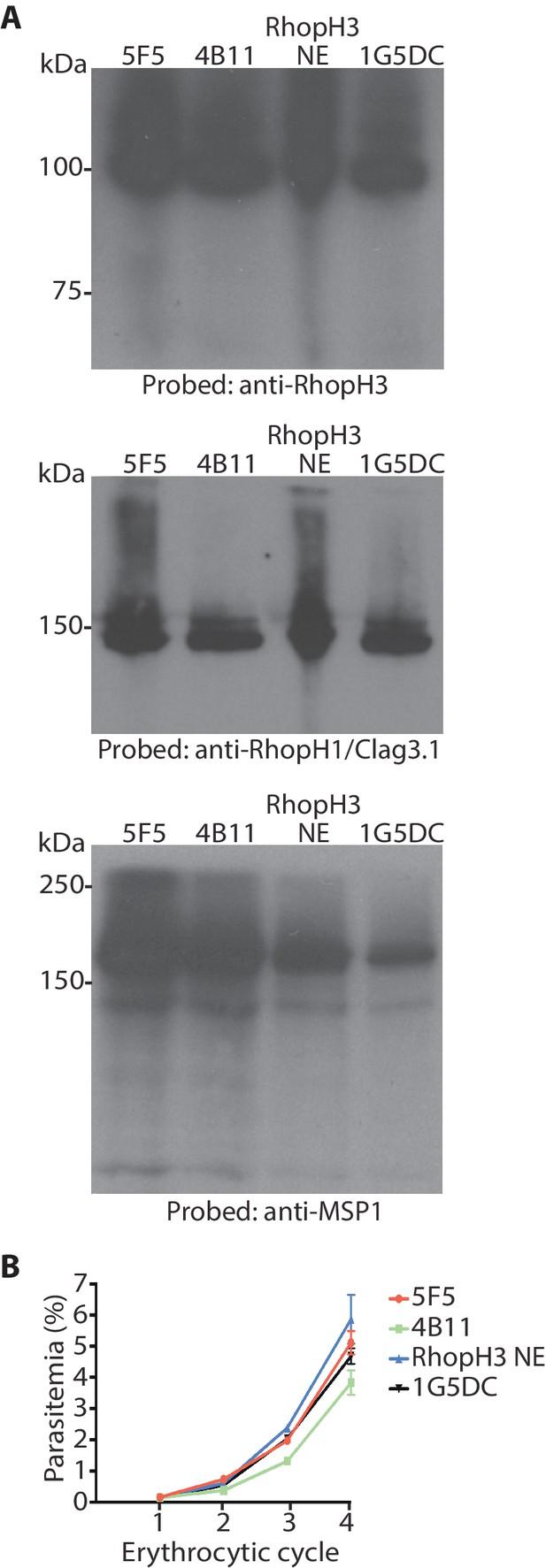The Plasmodium falciparum rhoptry protein RhopH3 plays essential