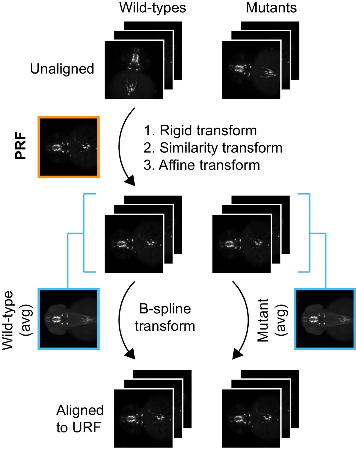 Automated deep-phenotyping of the vertebrate brain | eLife