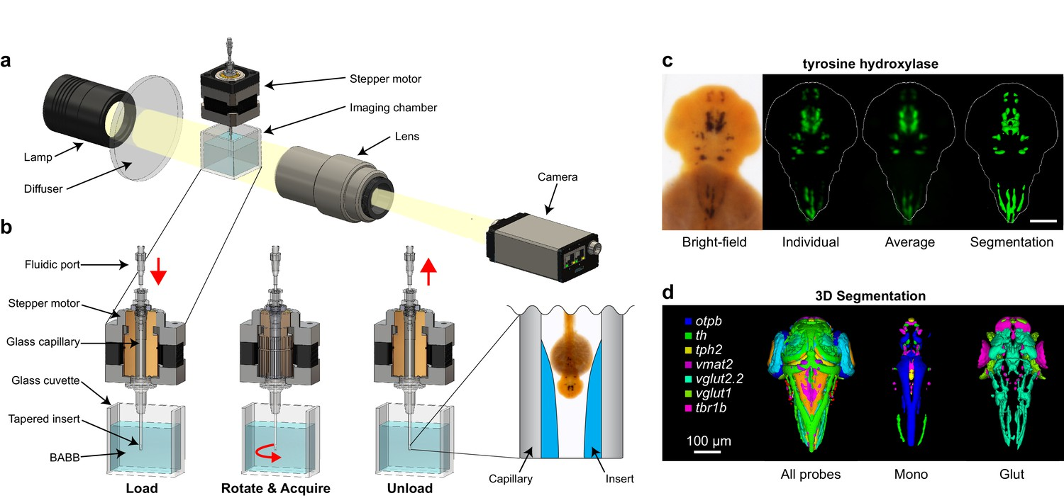 Automated Deep Phenotyping Of The Vertebrate Brain Elife Illustration Simple Series Circuit 3d Model Opt Platform For In Situ