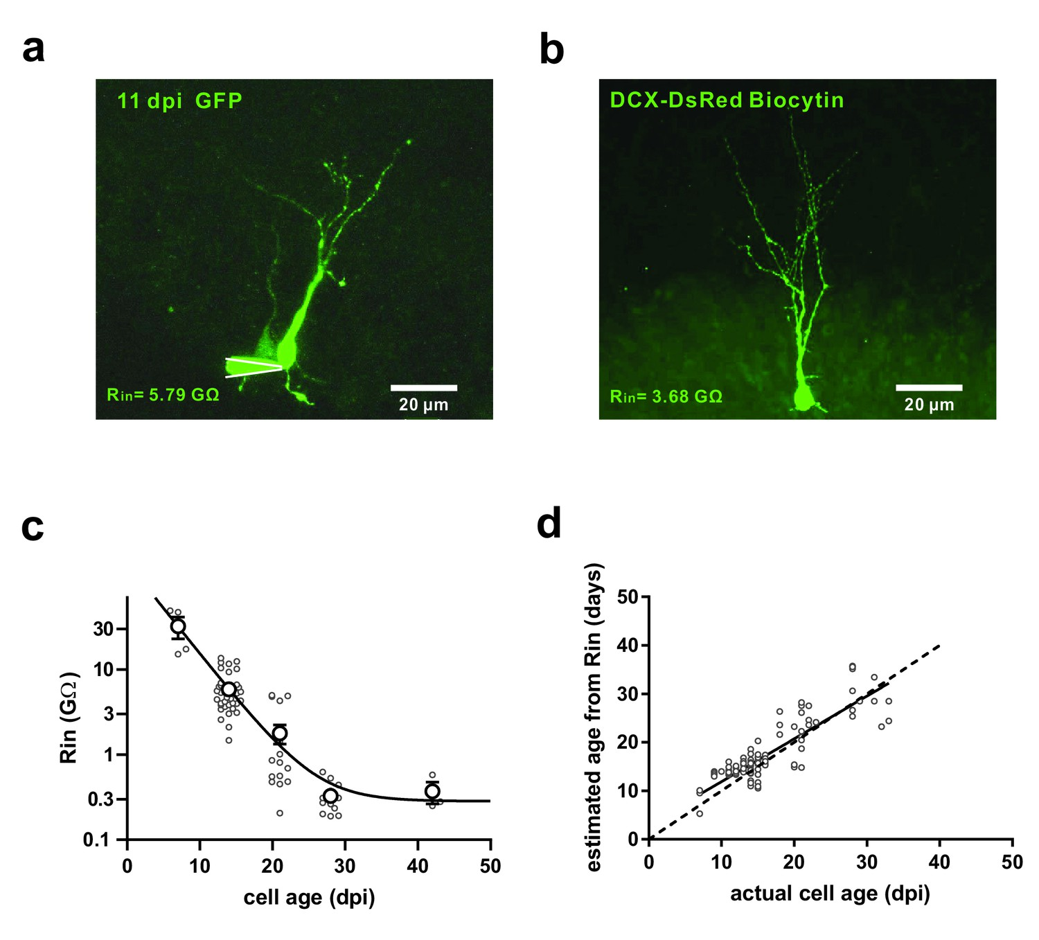 Silent Synapses Generate Sparse And Orthogonal Action Potential Aa One K A Compact Current Voltage Output Integrated Amplifier Identification Of Newborn Granule Cells In The Adult Mouse Hippocampus